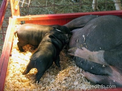 Two black with white Piglets are nursing from there mother Hog.