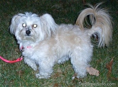 A white with tan Pomapoo is standing across a yard and it is looking forward. It has longer fringe hair on its ring tail.