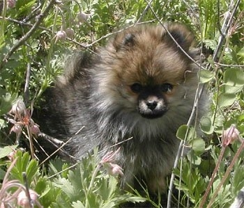 A small fluffy tan with black and white Pomeranian puppy is sitting in a bush.