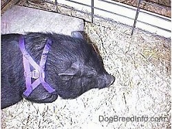 A pot bellied pig is wearing a purple harness standing in hay and it is looking to the left.
