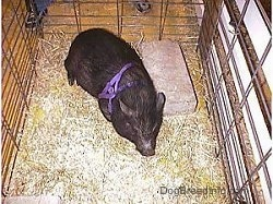 A pot bellied pig is standing in hay and it is looking forward. There is a person behind it.