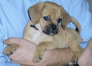 Side view - A tan with white Puggle puppy is laying in a persons arm. Its head is down and turned to the right, but the puppy is looking to the left. The pup has big ears compared to the size of its head.