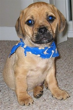 Front view - A tan with white Puggle puppy is sitting on a tan carpet wearing a blue bandana that has tan bones on it.