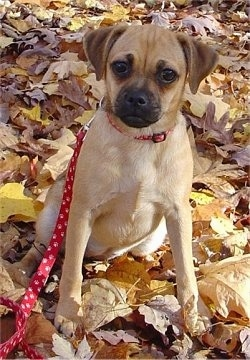 Front view - A tan with white Puggle puppy is sitting on leaves and it is looking forward. Its head is slightly tilted to the right.
