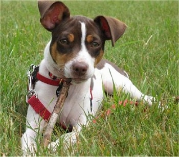 Front view - A chocolate tricolored Rat Terrier puppy is wearing a red collar and leash laying in grass looking forward. It has a stick in its mouth. Its ears are large but folded over to the front. It has a brown nose.