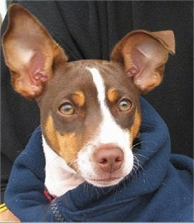 Close up head shot - A chocolate tricolored Rat Terrier puppy is wearing a coat and a person is holding it. One of its large ears is standing straight up and the other is folded over at the tip.