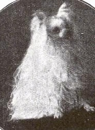 A black and white photo of a Seidenspitz dog that is sitting down. It has long white hair that poofs out and shorter hair on its head.