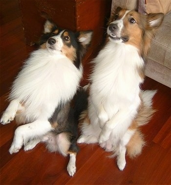 Two Shetland Sheepdogs are sitting on there hind legs in a begging pose with their front paws in the air looking up and to the left. One dog is tan with some black and white and the other dog is black with some tan and white.