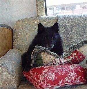 A black Schipperke dog is sitting against the back of a sofa and it is looking forward. There are two pillows in front of it.