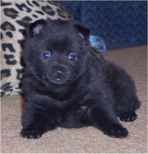 A little fluffy black Schipperke puppy laying on a tan carpet and it is looking forward.