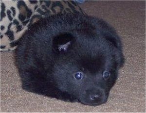 A fluffy black Schipperke puppy is laying down on a carpeted surface and it is looking forward.