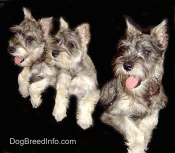 A litter of three Miniature Schnauzer puppies lined up in a row with their paws over top of a black wall. The two dogs on the end have their mouths open and tongues out and the dog in the middle has its mouth closed.