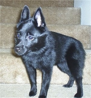 A black Schipperke dog is standing on a carpeted step looking to the left. It has large pointy ears.