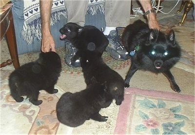 A play-bowing black Schipperke dog is laying across from a litter of black Schipperke puppies that are playing in a living room.