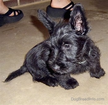 Close up - A small, perk-eared, black Scottish Terrier puppy is sitting on a concrete surface and it is looking down and to the left. There is a person standing behind them. The puppy's ears are very large.
