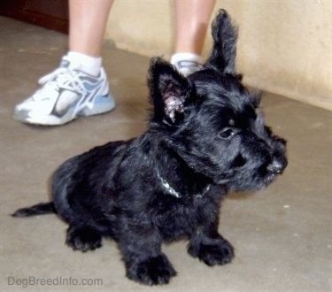 Front side view - A black Scottish Terrier puppy is sitting on a concrete surface looking to the right. There is a person standing behind it. The dog's coat is shiny black and it has big perk ears.
