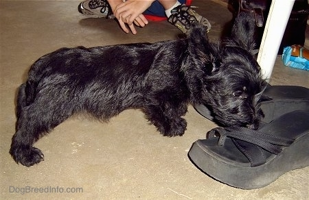 The right side of a black Scottish Terrier puppy stretching out to sniff a black flip flop shoe in front of it. Its ears are slightly pinned back.