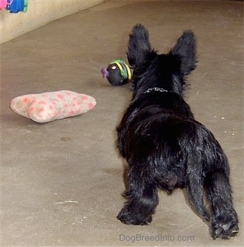The back of a black Scottish Terrier puppy that is walking up a concrete surface to get a ball. There is also a plush pillow toy in front of it. The puppy is holding its tail low.