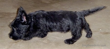 The left side of a black Scottish Terrier puppy walking across a concrete surface. It has its nose to the ground and its tail is pointing straight out and slightly up.