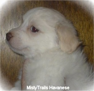 Close Up - A short-haired white with tan Havanese puppy is being held in front of a wood panel wall