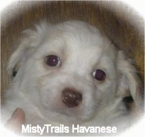 Close Up - The face of a short-haired white with tan Havanese puppy is being held in front of a wood panel wall