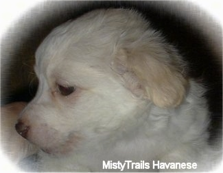 Close Up side view - The face of a short-haired white with tan Havanese puppy