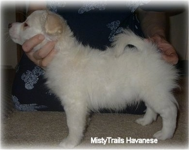 A short-haired white Havanese puppy is standing on a tan carpet being posed in a stack by a person wearing blue behind it