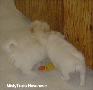 Two white with tan Havanese puppies are standing next to each other on a white tiled floor over a duck toy.