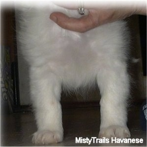 The chest of a short-haired white Havanese puppy