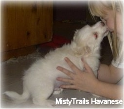 A short-haired white Havanese puppy is licking the face of a blonde haired girl