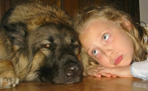A girl and a Shiloh Shepherd are laying head to head on a hardwood floor. The girl is looking over at the dog with a pretend pout on her face.