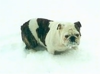Sadie the English Bulldog outside in deep snow with snow all over her face