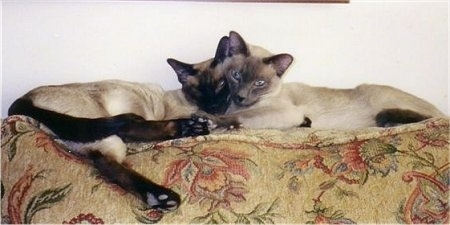 bandit and Moses the Siamese Cats are laying head to head on the back of a flowered couch.