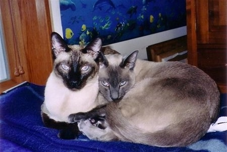 Bandit and Moses the Siamese cats are cuddled together on a blue blanket in front of a window on a bed