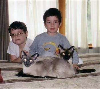 Two Siamese cats are laying on a humans bed in front of two boys. They are all looking forward.