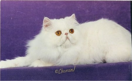 Side-view of Glitter Girl the solid white Persian Cat who is laying on a purple backdrop and looking towards the camera holder. The Word '©Chanan' are overlayed