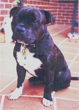 Close up - A wide chested, muscular, black with white Staffordshire Bull Terrier dog sitting across a brick porch surface and it is looking forward. The dog has brown eyes.