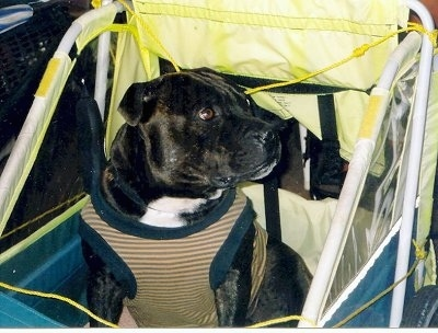Close up - A black with white Staffordshire Bull Terrier is sitting in a stroller, it has a harness on and it is looking to the right.