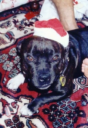 Top down view of a black and white Staffordshire Bull Terrier dog wearing a Santa's hat looking up.