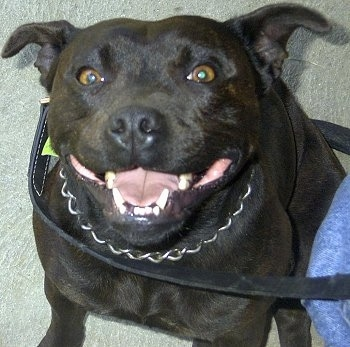 Top down view of a wide black Staffordshire Bull Terrier dog sitting on a carpet, it is looking up and it looks like it is smiling. The dog is wearing a choke chain collar and a black leather leash.