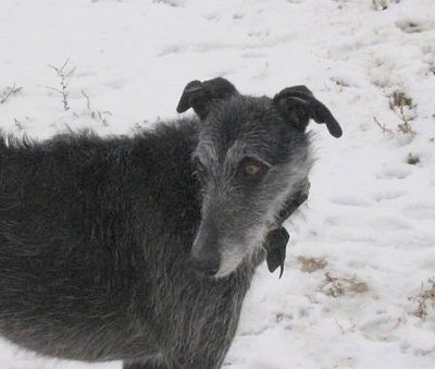 Close up front side view - The upper half of a wiry looking, black with grey Staghound dog standing across snow looking to the left. The dog has brown eyes and small soft looking ears.