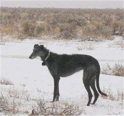 The left side of a wiry-looking, tall, high-arched, black with grey Staghound dog standing in a field of snow and brush. The dog has a long tail that is hanging down low almost touching the ground and a pointy snout.