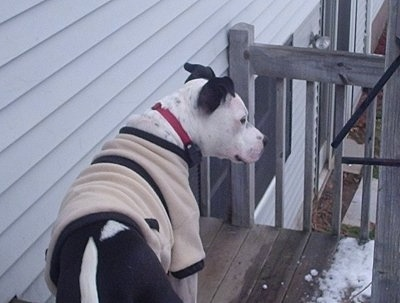 The back side of a white and black Staffordshire Bull Terrier that is wearing a tan and black jacket. It is standing on a hardwood porch and it is looking to the right. There is snow on the corner of the deck in front of it.