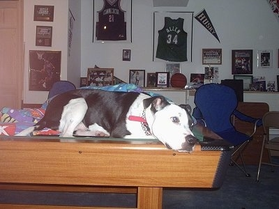 A white and black Staffordshire Bull Terrier dog laying down across a pool table inside of a home looking to the right.