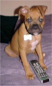 A red with white and black Valley Bulldog puppy is sitting on a bed, it is looking forward and there is a TV remote in front of it. One of its ears is folded to the front in a v-shape and the other is folded down to the side.