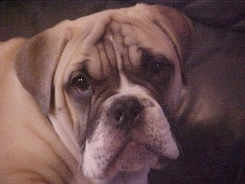 Close up head shot - A large headed, wrinkly, tan with white and black Victorian Bulldog puppy that is looking forward and its head is slightly tilted to the left. The dog has a big nose, a pushed back snout and a lot of extra skin with a wide chest.