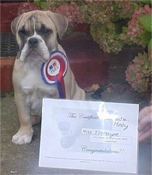 A large headed, extra skinned, tan with white and black Victorian Bulldog puppy is sitting outside in front of a staircase, it is wearing a red, white and blue ribbon. There is an award sitting in front of the puppy.