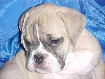 Close up - A tan with white and black Victorian Bulldog puppy is sitting on top of a blue backdrop, it is looking down and to the left. The dog has a wide chest with extra skin and wrinkles.
