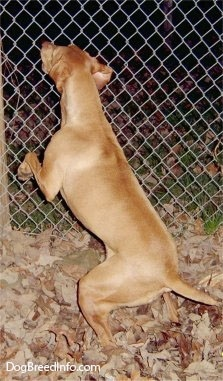 The back of a red Vizsla that is jumping up against a fence in front of it as it barks at something on the other side. There is a pile of leaves under it.