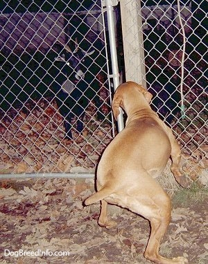 The back of a red Vizsla that is looking and barking at goats through a chainlink fence. The dog's front paw is in the air as it is in mid-motion.